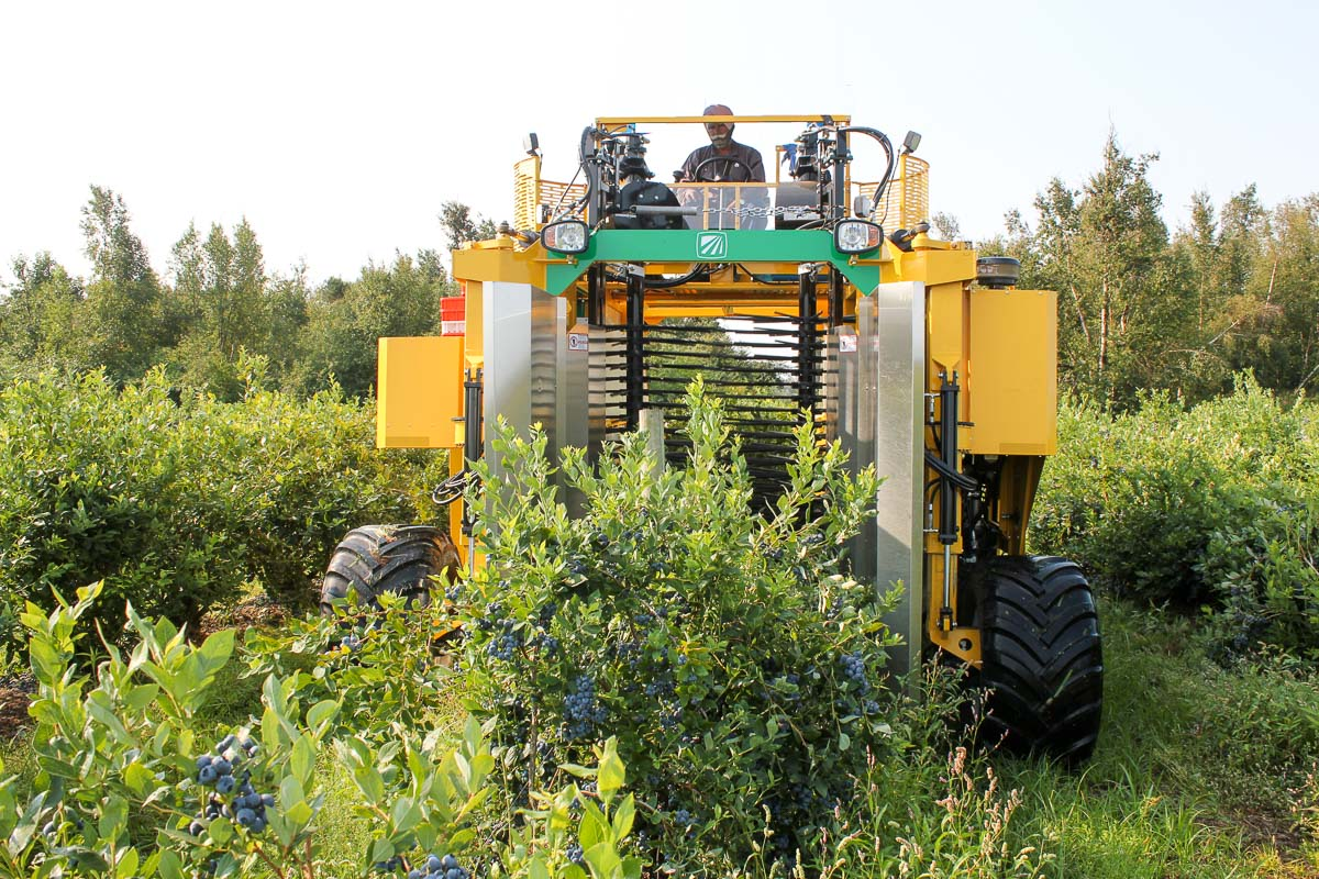 Oxbo 8140 blueberry harvester